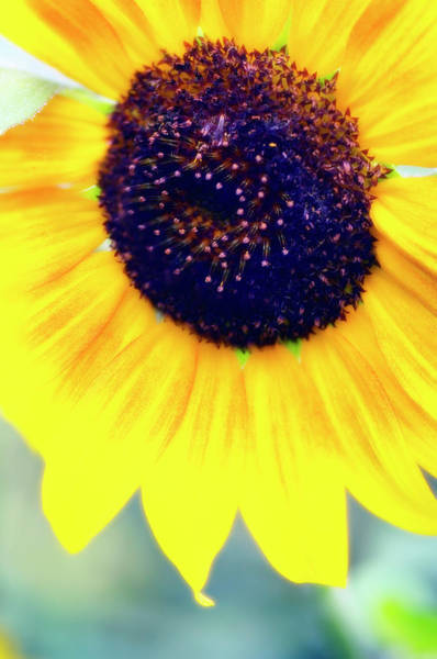 Helianthus Annuus Photograph - Sunflower (helianthus Annuus) by Maria Mosolova/science Photo Library