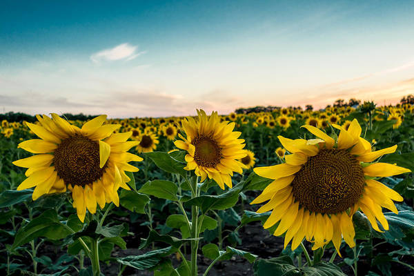Photograph - Sister Sunflowers by Melinda Ledsome