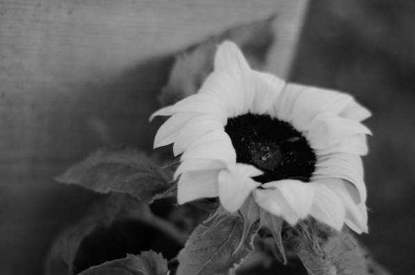 Photograph - Sunflower by Miguel Winterpacht