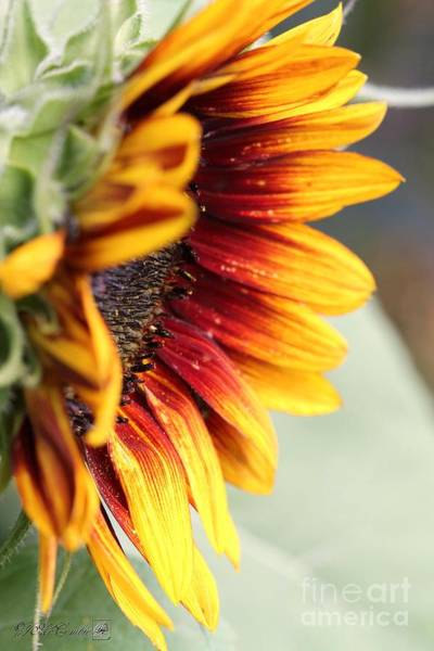 The Joker Photograph - Sunflower Named The Joker by J McCombie