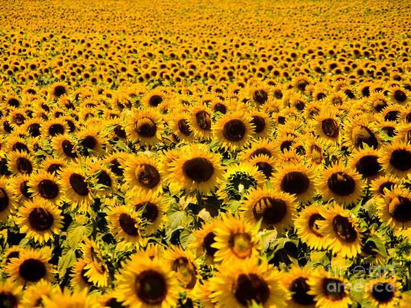Sunflower Seeds Photograph - Sunflowers by Tim Holt