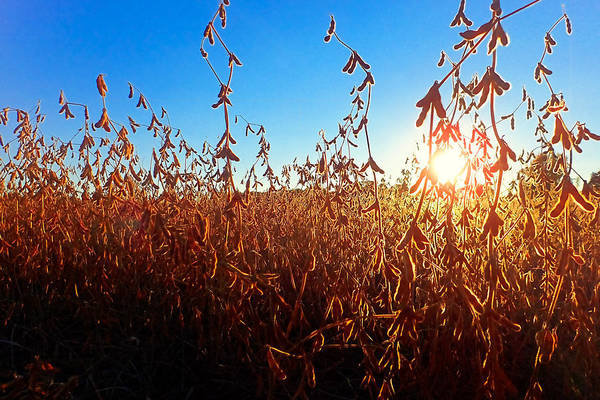 Photograph - Sunlit Soybeans by Lars Lentz