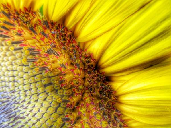 Sunflower Seeds Photograph - Sunrise by Marianna Mills