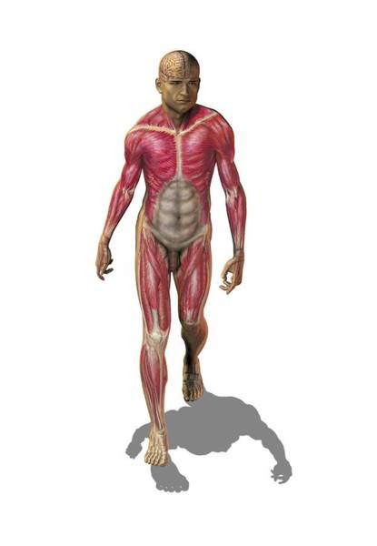 External Abdominal Oblique Photograph - Superficial Human Muscles, Artwork by Science Photo Library