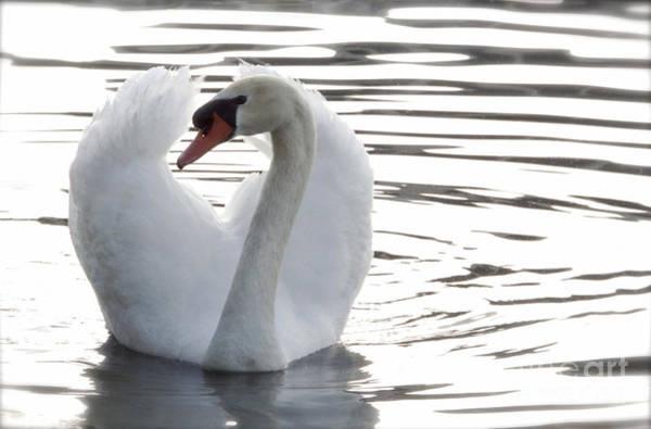 Wall Art - Photograph - Swan On Lake Eola by Glennis Siverson