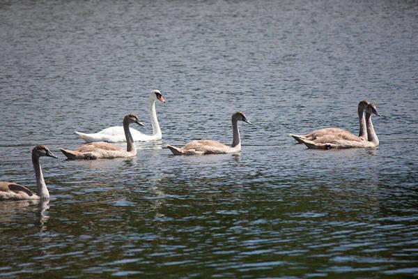 Photograph - Swans Centerport Harbor Long Island New York by Susan Jensen