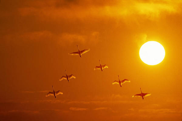 All Together Photograph - Swans Flying At Sunset Composite by John Warden