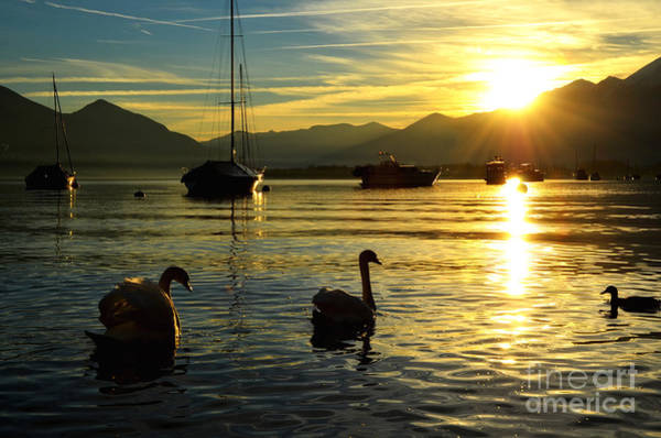 Swan Boats Photograph - Swans In Sunset by Mats Silvan
