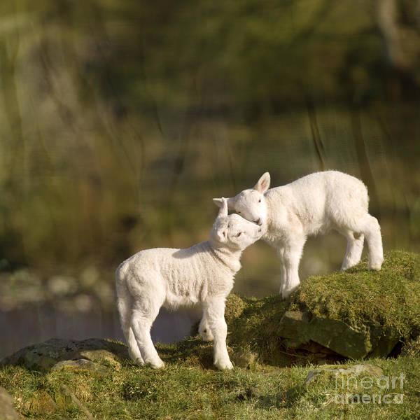 Farms Photograph - Sweet Little Lambs by Angel Ciesniarska