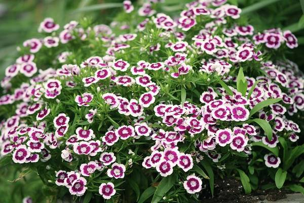Biennial Photograph - Sweet William (dianthus Barbatus) Flowers by Maria Mosolova/science Photo Library