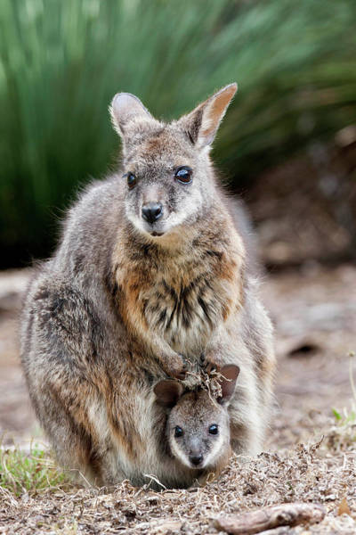 Dama Dama Photograph - Tammar Wallaby (macropus Eugenii by Martin Zwick