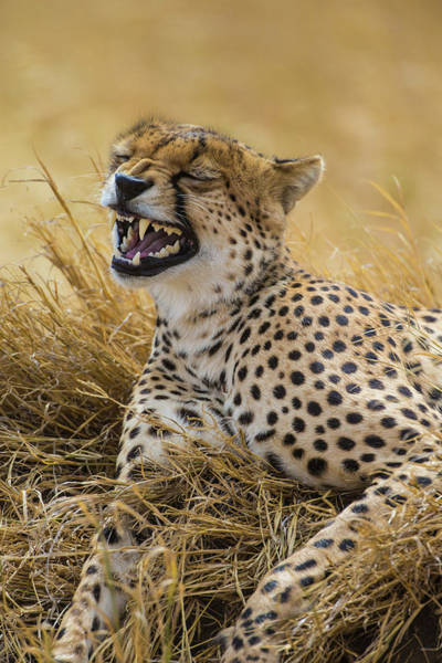 Wall Art - Photograph - Tanzania Cheetah Yawning After A Hunt by Ralph H. Bendjebar