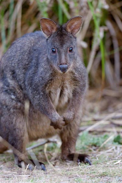 Rufous Photograph - Tasmanian Pademelon (thylogale by Martin Zwick