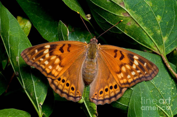 Photograph - Tawny Emperor Butterfly by Gregory G. Dimijian, M.D.