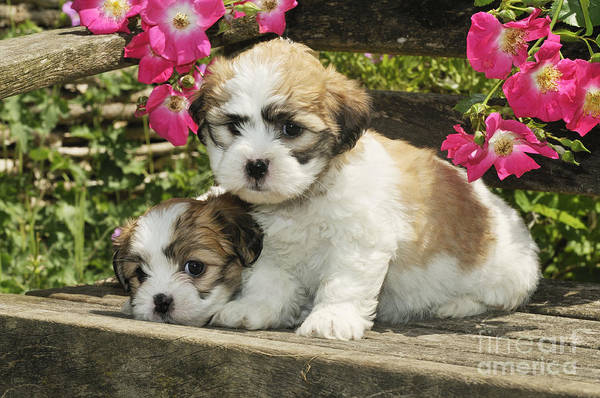 Wall Art - Photograph - Teddy Bear Puppy Dogs by John Daniels