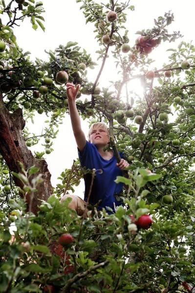 Malus Photograph - Teenage Boy Climbing An Apple Tree by Thomas Fredberg