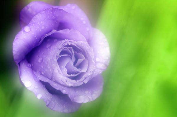 Wall Art - Photograph - Texas Bluebell (eustoma Grandiflora) by Maria Mosolova/science Photo Library