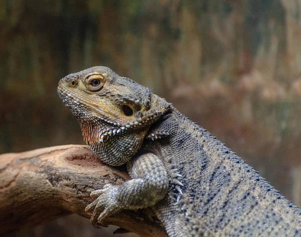 Photograph - Lizard by John Johnson