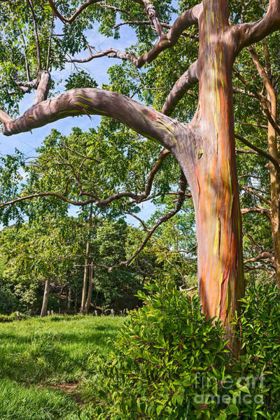 Wall Art - Photograph - The Colorful And Magical Rainbow Eucalyptus Tree. by Jamie Pham