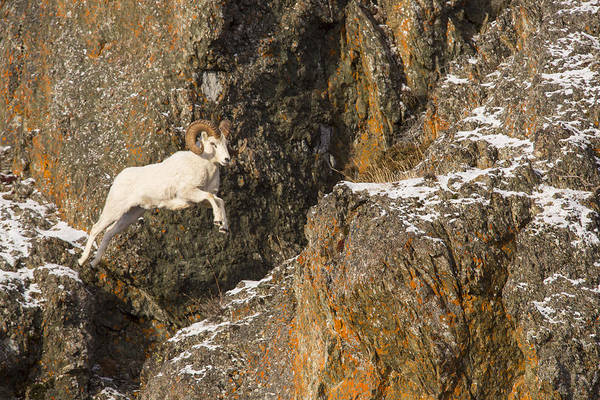Wall Art - Photograph - The Leaping Ram by Tim Grams