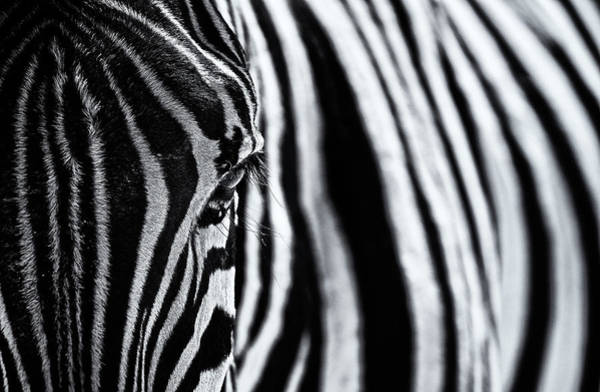 Zebra Pattern Photograph - The Look Of Nature by Marco Tagliarino
