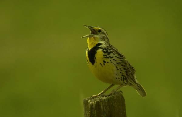 Fowl Photograph - The Meadowlark Sings by Jeff Swan
