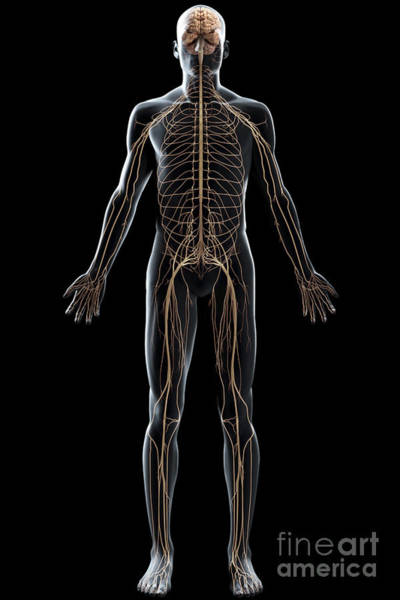 Photograph - The Nerves Of The Body by Science Picture Co
