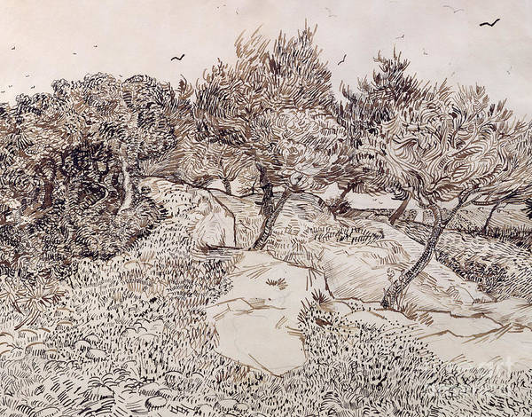 Van Gogh Wall Art - Drawing - The Olive Trees by Vincent Van Gogh