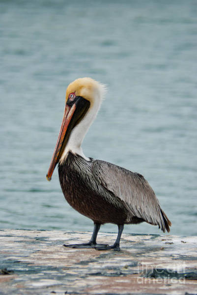 Photograph - The Pelican by Hannes Cmarits