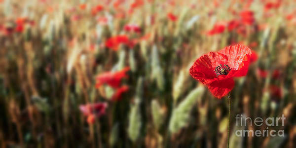 Photograph - The Poppy by Hannes Cmarits