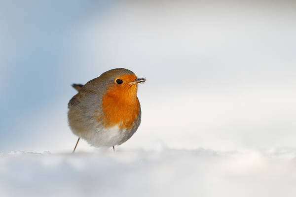 European Robin Photograph - The Red White And Blue by Roeselien Raimond