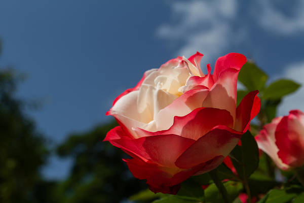 Photograph - The Rose by Andreas Levi