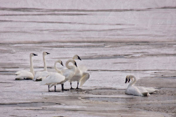 Photograph - The Sweetness Of Swans by Leda Robertson