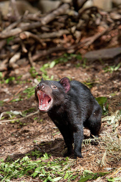 Yawn Photograph - The Tasmanian Devil (sarcophilus by Martin Zwick