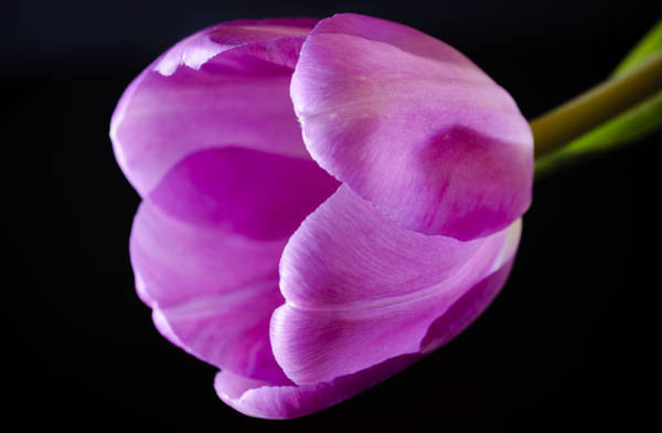 Photograph - The Very Pink Of Perfection by Christi Kraft