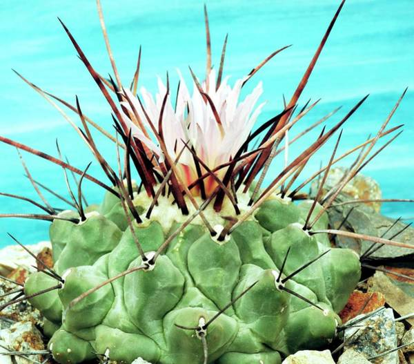 Wall Art - Photograph - Thelocactus Rinconensis by Brian Gadsby/science Photo Library