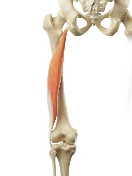 Musculoskeletal System Wall Art - Photograph - Thigh Muscle by Sciepro