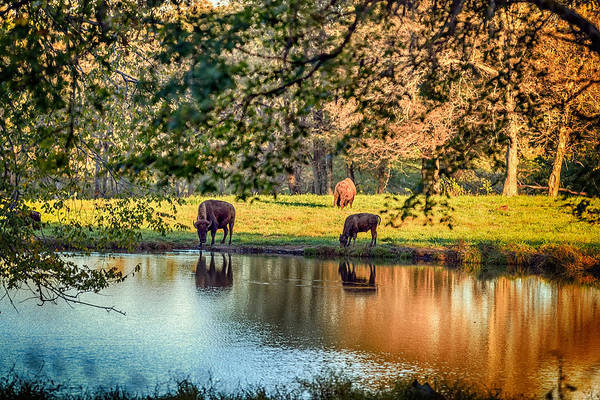 Dancing Bears Photograph - Thirsty Bison by Sennie Pierson