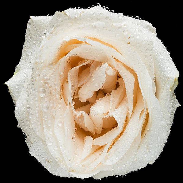 Wall Art - Photograph - This White Rose by Steve Gadomski