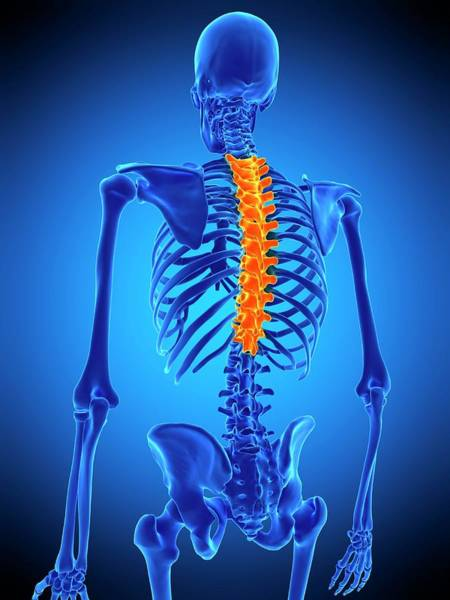 Wall Art - Photograph - Thoracic Spine by Sebastian Kaulitzki/science Photo Library