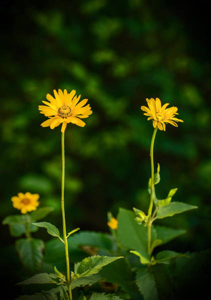 Photograph - Three Flowers by Robert Mitchell