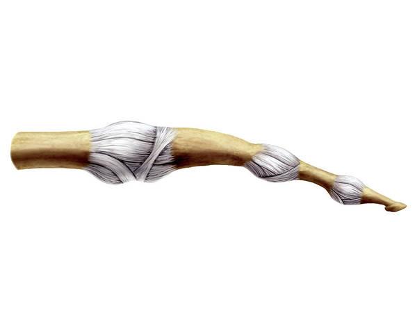 Hand Anatomy Wall Art - Photograph - Three-phalangeal Finger by Asklepios Medical Atlas