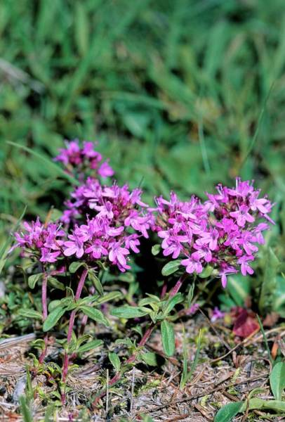 Thyme Photograph - Thyme (thymus Longicaulis) by Bruno Petriglia/science Photo Library