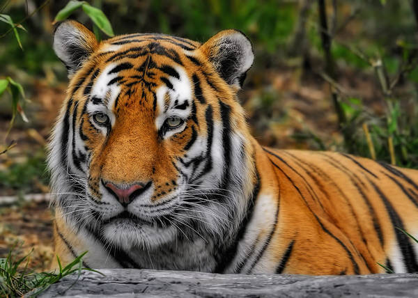 Photograph - Tiger by Bill Dodsworth
