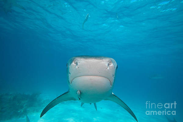 Carcharhinidae Photograph - Tiger Shark, Bahamas by David Fleetham