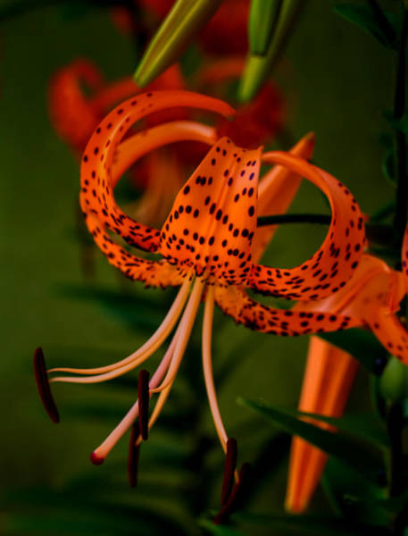 Tigerlily Wall Art - Photograph - Tigers by Dave Bosse