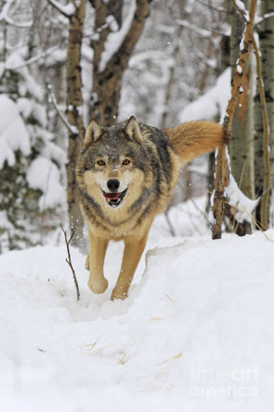 Timber Wolves Photograph - Timber Wolf, Canis Lupus by M. Watson