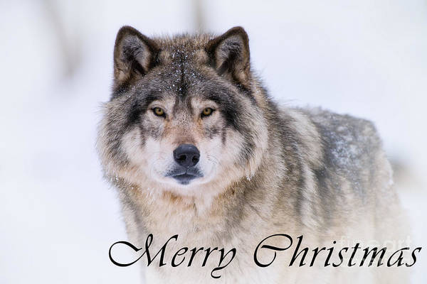 Photograph - Timber Wolf Christmas Card 20 by Wolves Only