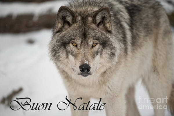 Photograph - Timber Wolf Christmas Card Italian 8 by Wolves Only