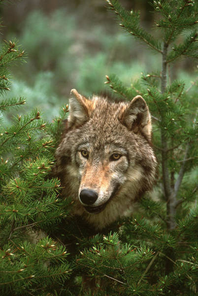 Wall Art - Photograph - Timber Wolf North America by Tom Vezo